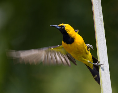 Hooded Oriole Leucadia 2017 07 15-5.CR2