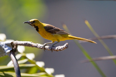 Hooded Oriole Imperial Beach 2015 07 17-4.CR2