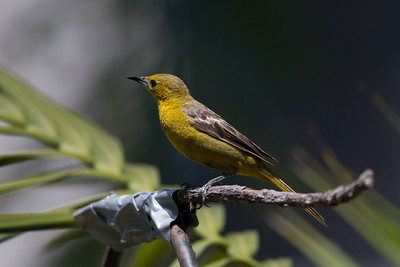 Hooded Oriole Imperial Beach 2015 07 17-2.CR2