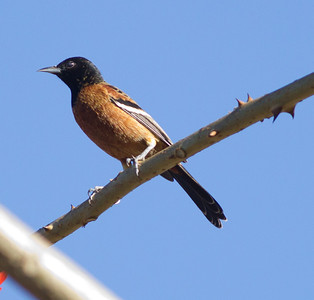 Orchard Oriole  Encinitas 2013 12 31-1.CR2