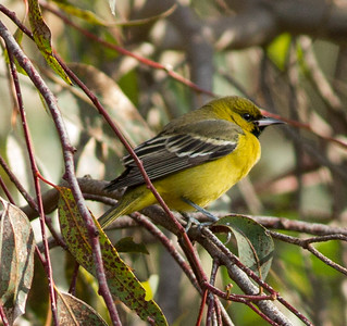 Orchard Oriole Encinitas 2014 11 30-1.CR2
