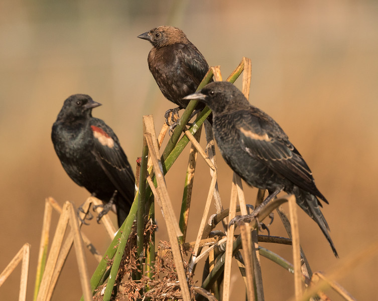 Red-winged Blackbird  Brown-headed Cowbird Del Mar 2016 08 13-1.CR2