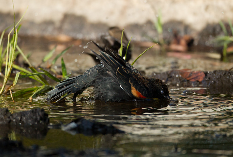 Red-winged Blackbird  San Dieguito Lagoon  2011 09 07-7.CR2