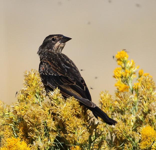 Red-winged Blackbird  Crowley Lake 2012 08 24 (1 of 1).JPG