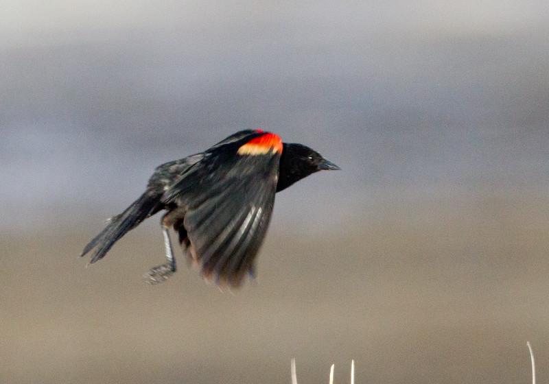 Red-Winged Blackbird  Owens Lake  2011 06 15-2.CR2