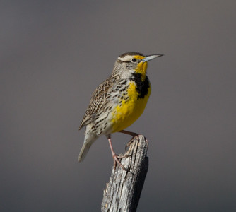 Western Meadowlark  Bridgeport 2018 04 01-2.CR2