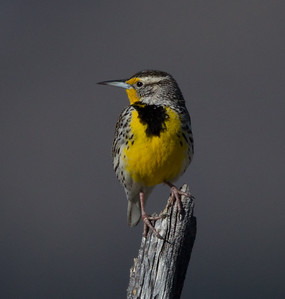 Western Meadowlark  Bridgeport 2018 04 01-1.CR2