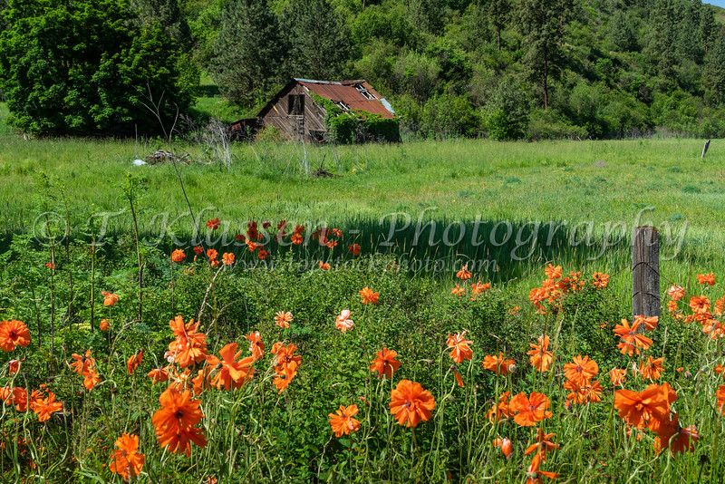 Orange poppy wildflowers and an abandoned shack near Lewiston, Idaho, USA, America.