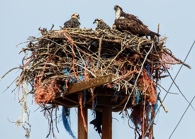 Osprey with babies in nest
