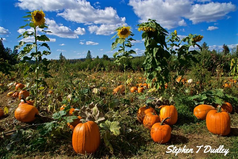 Pumpkin patch in Green Bluff, WA