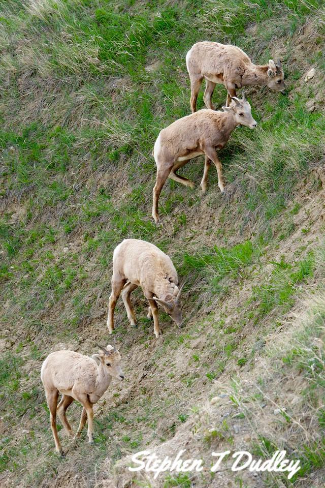 Ewes in Badlands