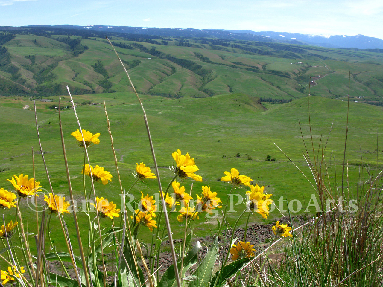 Yellow wildflowers bloom over White Bird Battlefield, the site of the first battle of the Nez Perce War, near the town of White Bird, along Highway 95 in north central Idaho.