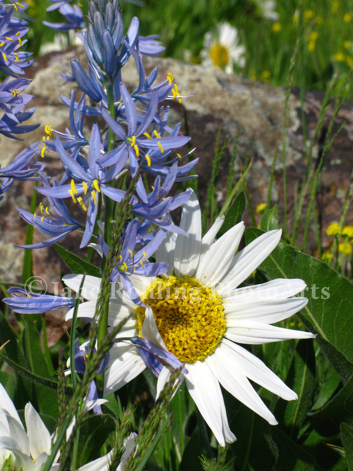 White mule's ear and blue camas flowers in a wet meadow along Highway 95 between Cambridge and Council, Idaho.