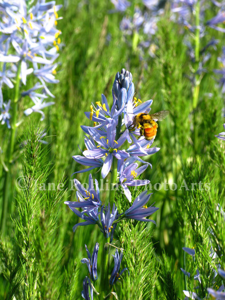 A bumblebee harvests pollen from blue camas flowers in a wet meadow along Highway 95 between Cambridge and Council, Idaho.