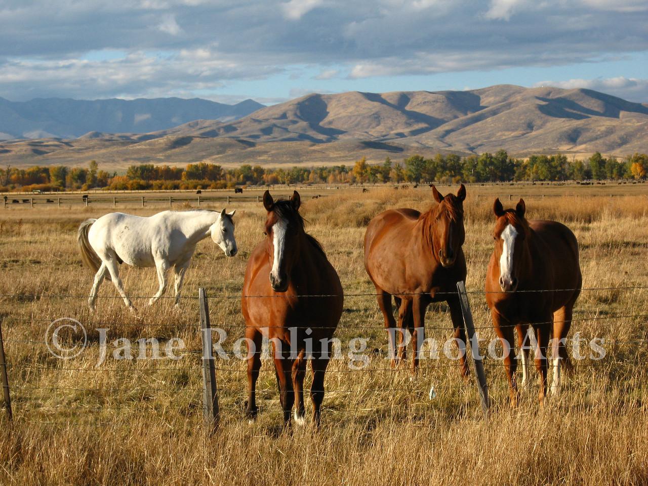 Curious horses greet the photographer along Highway 20 in Blaine County, Idaho.