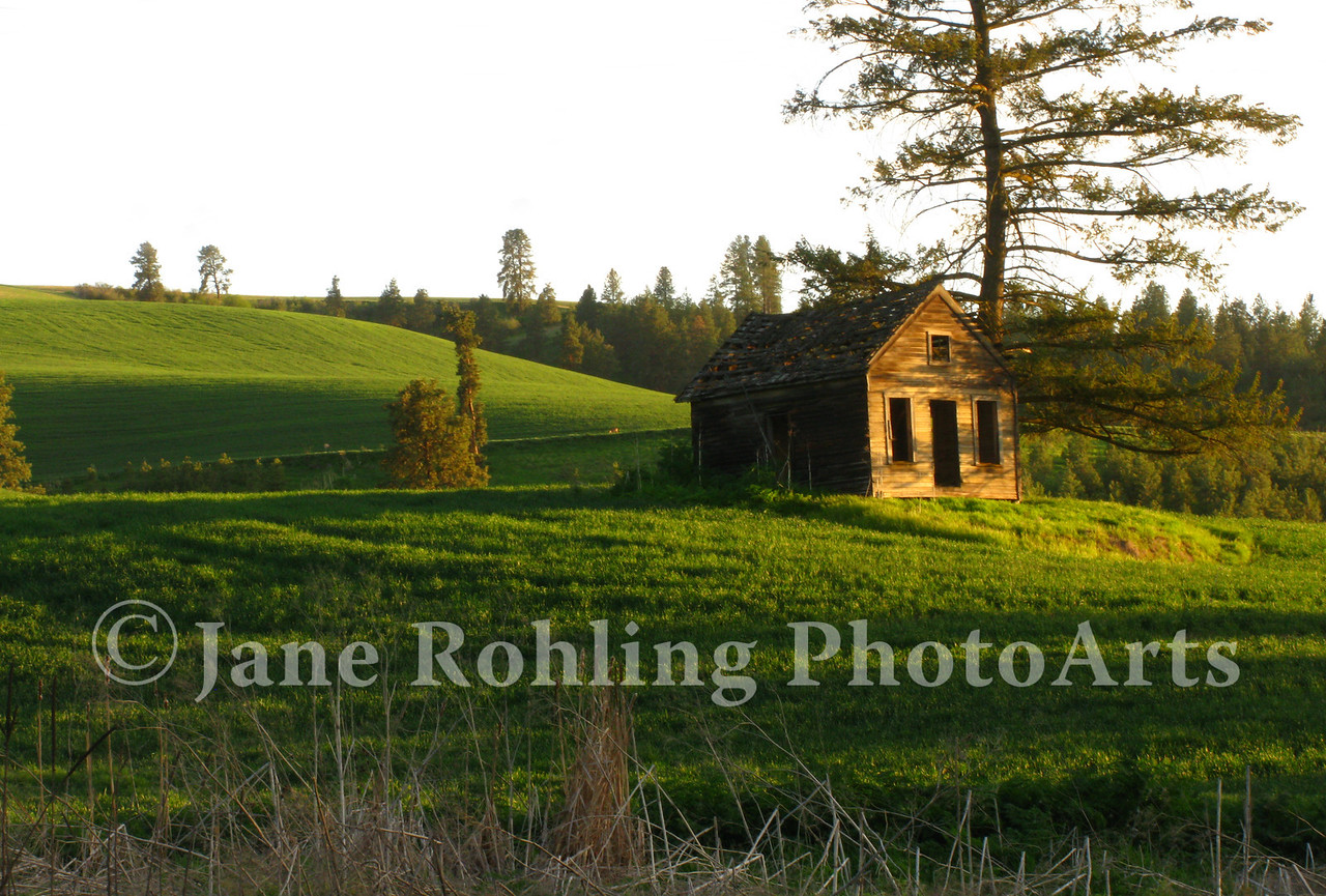 A dying pine tree stands over an abandoned cabin  in the middle of a lush green field near Cul de Sac, Idaho.