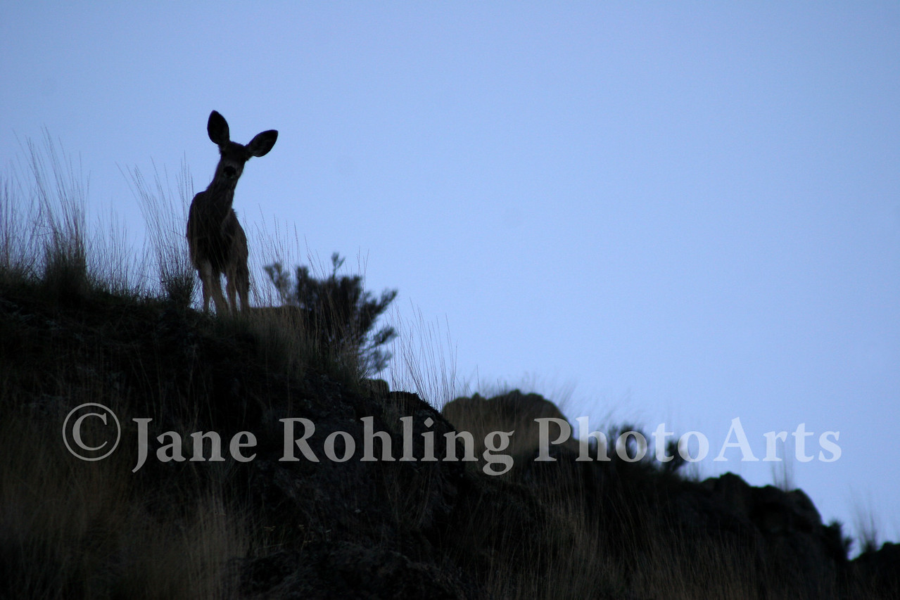A curious mule deer watches the photographer from a ridge in Hells Canyon National Recreation Area, Idaho.