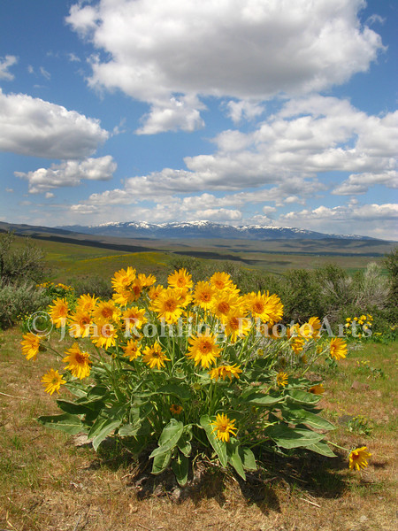 A cluster of bright yellow arrowleaf balsamroot herald the coming of spring in the Idaho landscape along Highway 95 near the town of Midvale.