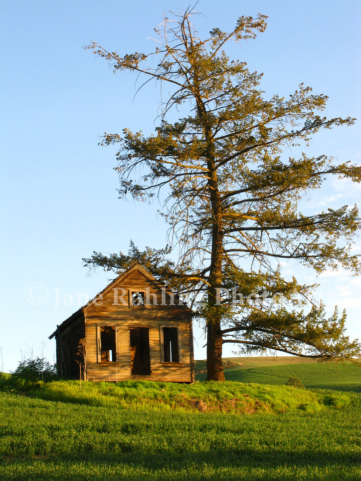 A dying pine tree stands over an abandoned cabin near Cul de Sac, Idaho.