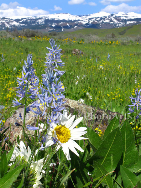 White mule's ear and blue camas flowers announce the arrival of spring in a wet meadow along Highway 95 between Cambridge and Council, Idaho.
