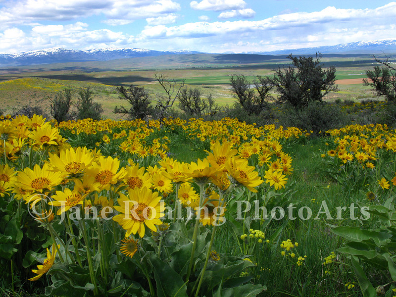 Clusters of bright yellow arrowleaf balsamroot herald the coming of spring in the Idaho landscape along Highway 95 near the town of Midvale.