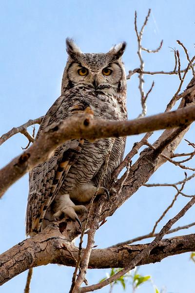 Owl on the Creek