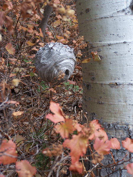 Wasp nest about waist high in the forest near Palisades Dam, Idaho. 10.08