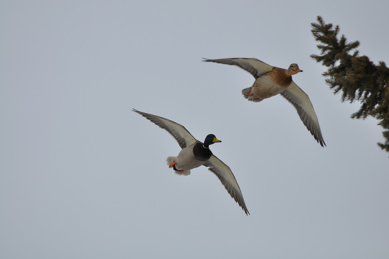 Ducks in flight. Idaho Falls, ID. 1.09