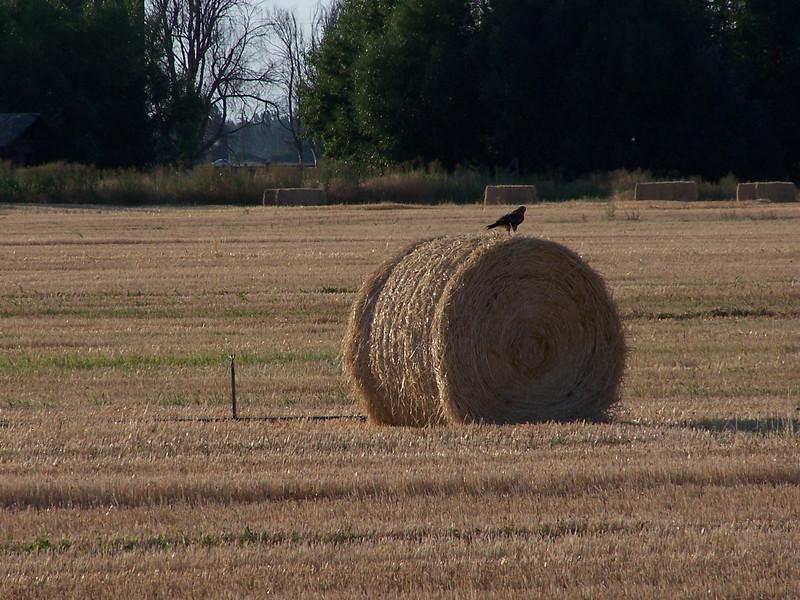 Hawk on hay bale, Idaho. 8.14.08