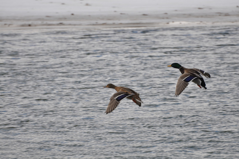 Ducks in flight over the Snake River, Idaho Falls, ID. 1.09