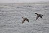 Ducks in flight over the Snake River, Idaho Falls, ID. 1.09