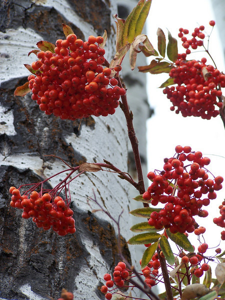 Red  Mountain Ash berries against the Aspens. Palisades, Idaho. 10.08