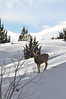 Deer near Heise, Idaho. 2.11.