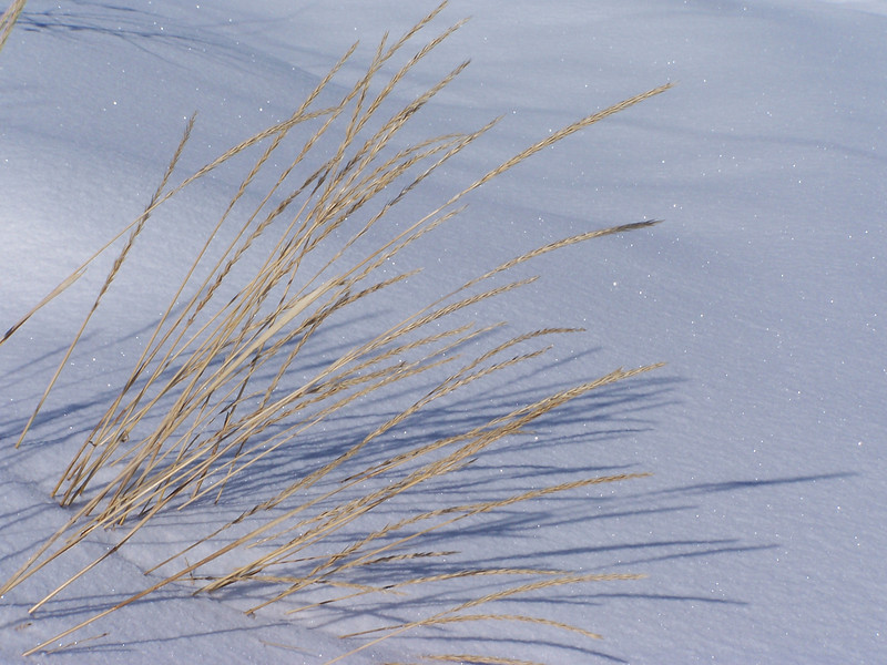 ornamental grass against the snow, color