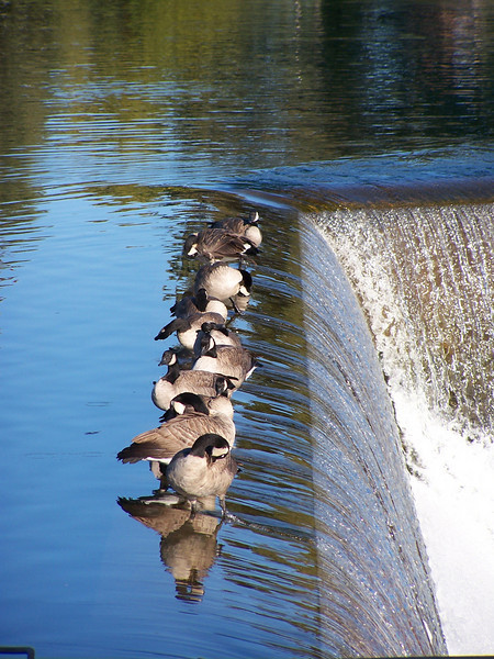 """Toe the line""  Canadian Geese on the edge of the falls, Idaho Falls, Idaho. Snake River. 9.08<br /> <br /> I wonder how they can maintain their perch on the edge of the falls in resistance to the power of the water."