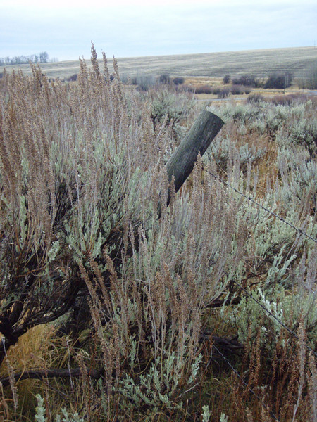 Sagebrush and barbed wire fence, near Ashton, ID. 11.08