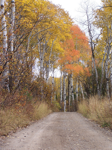 Quaking Aspens in full autumn glory, near Palisades Dam, Idaho. 10.20.08