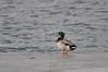 Mallard duck along the Snake River. Idaho Falls,ID. 1.09