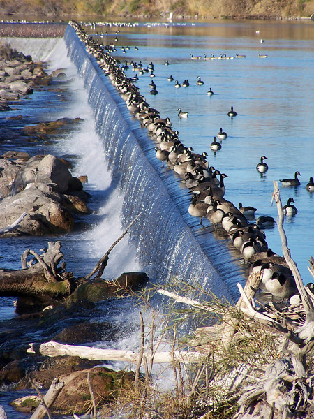 Canadian Geese perched on the falls, Snake River, Idaho Falls, ID. 10.08