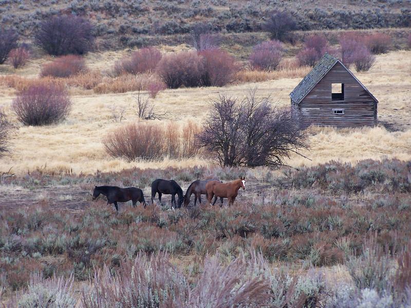Horses and old barn, near Ashton, ID. 11.08