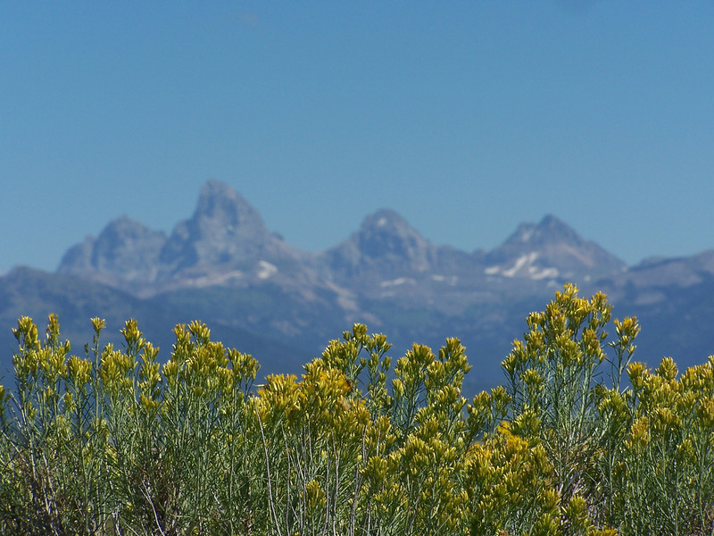 View of Grand Tetons, from the Idaho side, with blooming sagebrush in the foreground. 8.08.<br /> <br /> Mt. Owen (12,928ft), Grand Teton (13,770 ft), Middle Teton (12,804 ft), South Teton (12,514 ft).