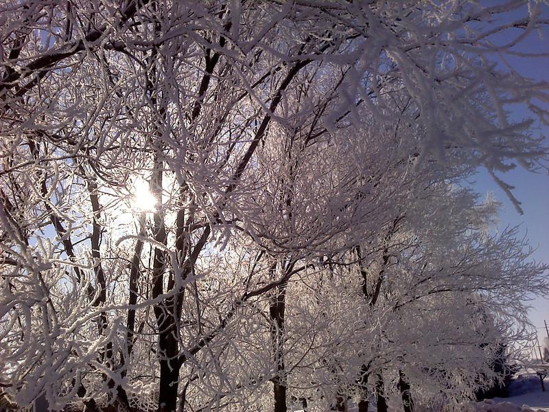 Sunlight peeking thru the Hoarfrost on Elm trees.  Idaho. 2.11