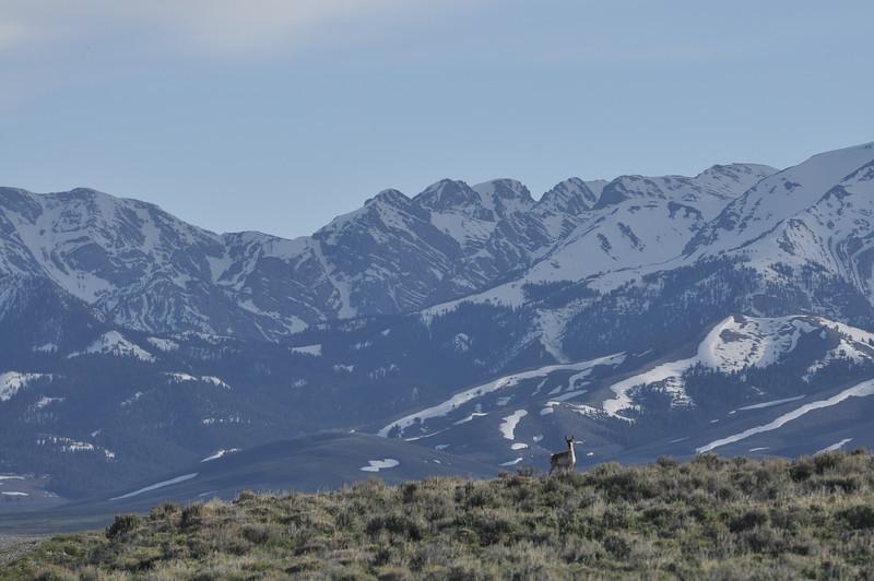 Antelope at Pass Creek Summit, Idaho. 6.11