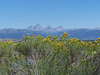 View of Grand Tetons, from the Idaho side, with blooming sagebrush in the foreground. 8.08.<br /> Mt. Owen (12,928ft), Grand Teton (13,770 ft), Middle Teton (12,804 ft), South Teton (12,514 ft).