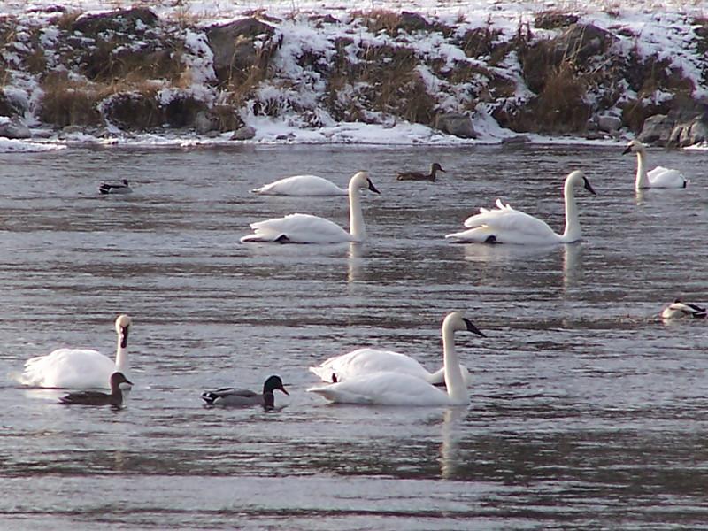 Floating Fowl near Island Park, Idaho