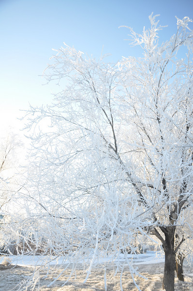 Frost on the bare trees. Idaho. 1.09