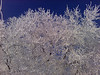 Hoarfrost on Elm trees.  Idaho. 2.11