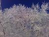 Hoarfrost on Elm trees.  Idaho. 2.11