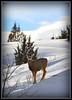 Deer near Heise, Idaho. 2.11. cropped/edited.