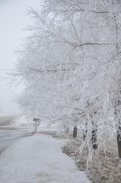 Heavy frost on bare trees on a foggy morning in rural Idaho. 1.09.
